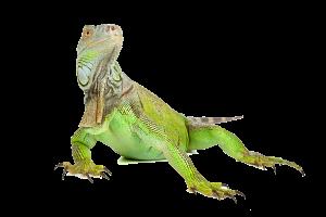 Iguana-PNG-Image